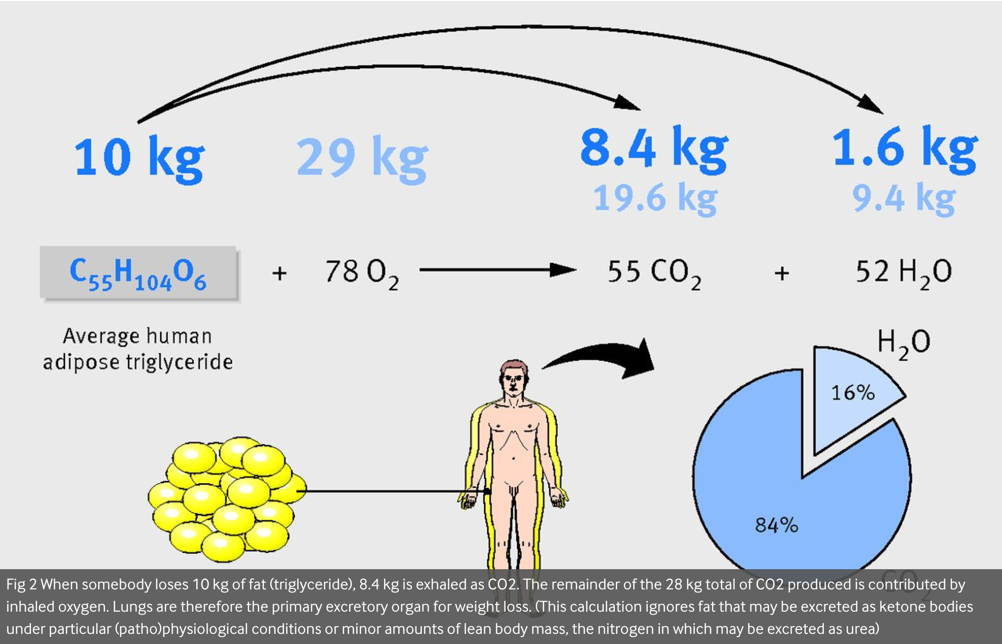 varför behöver kroppen fett